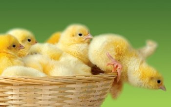 Animal - Chicken Wallpapers and Backgrounds ID : 367665