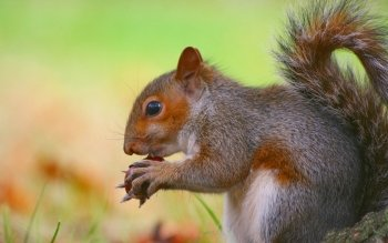 Animal - Squirrel Wallpapers and Backgrounds ID : 368564