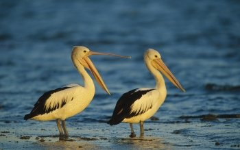 Dierenrijk - Pelican Wallpapers and Backgrounds ID : 368583