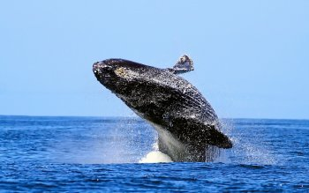 Dierenrijk - Humpback Whale Wallpapers and Backgrounds ID : 368593