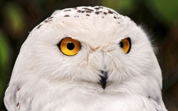Animal - Snowy Owl Wallpapers and Backgrounds ID : 370882