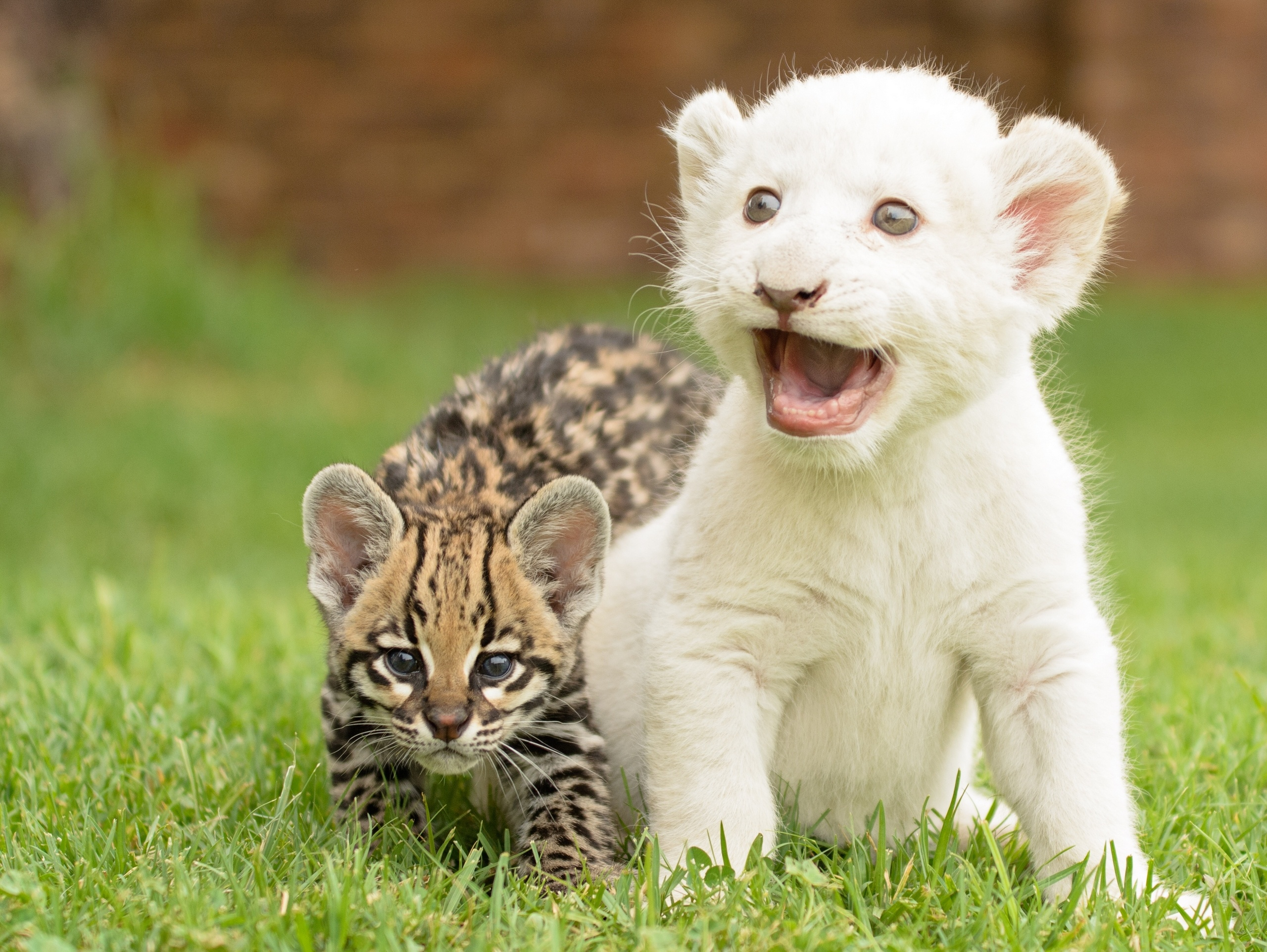 The Oscelot & White Lion Cub Full HD Wallpaper and ...
