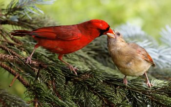 Animal - Cardinal Wallpapers and Backgrounds ID : 371063