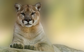 Animal - Cougar Wallpapers and Backgrounds ID : 371539