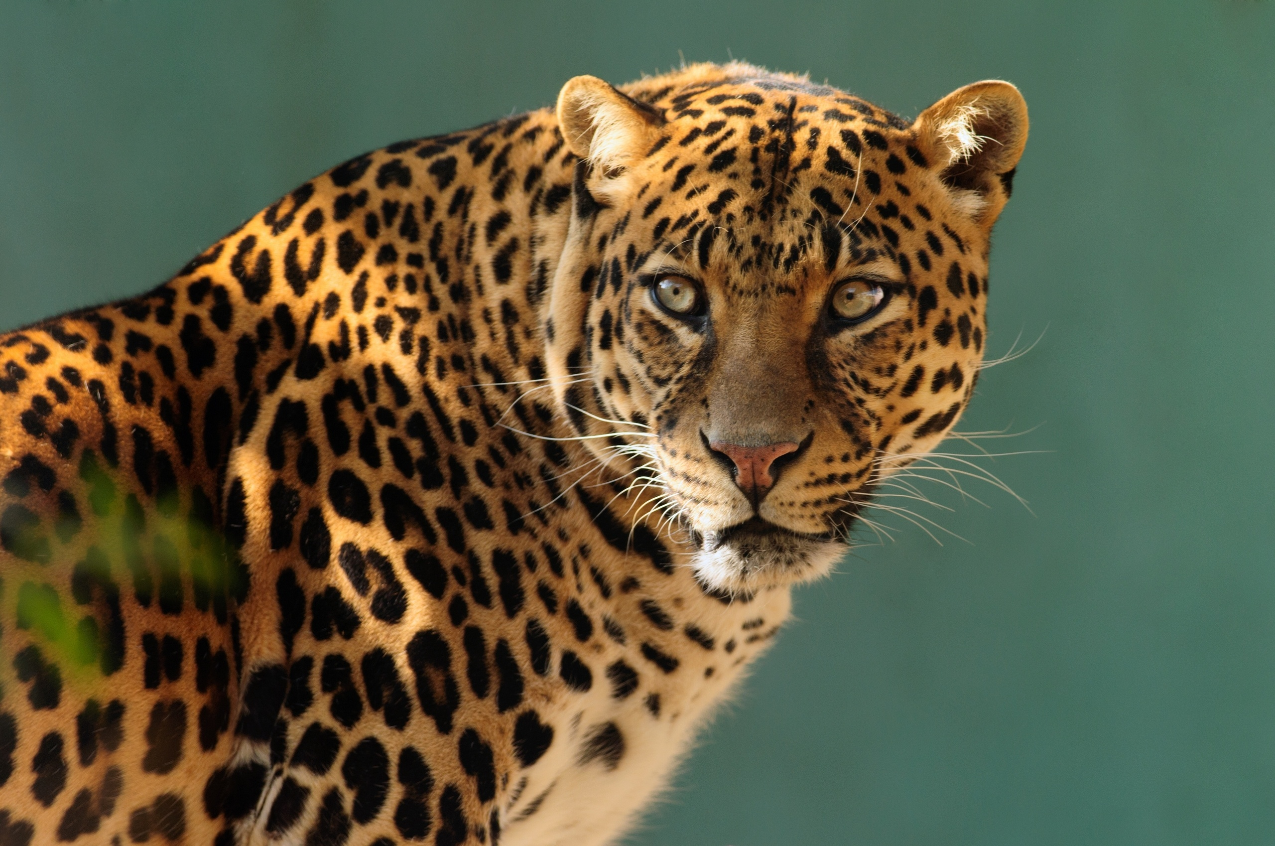 wild cats wallpaper collection - photo #7