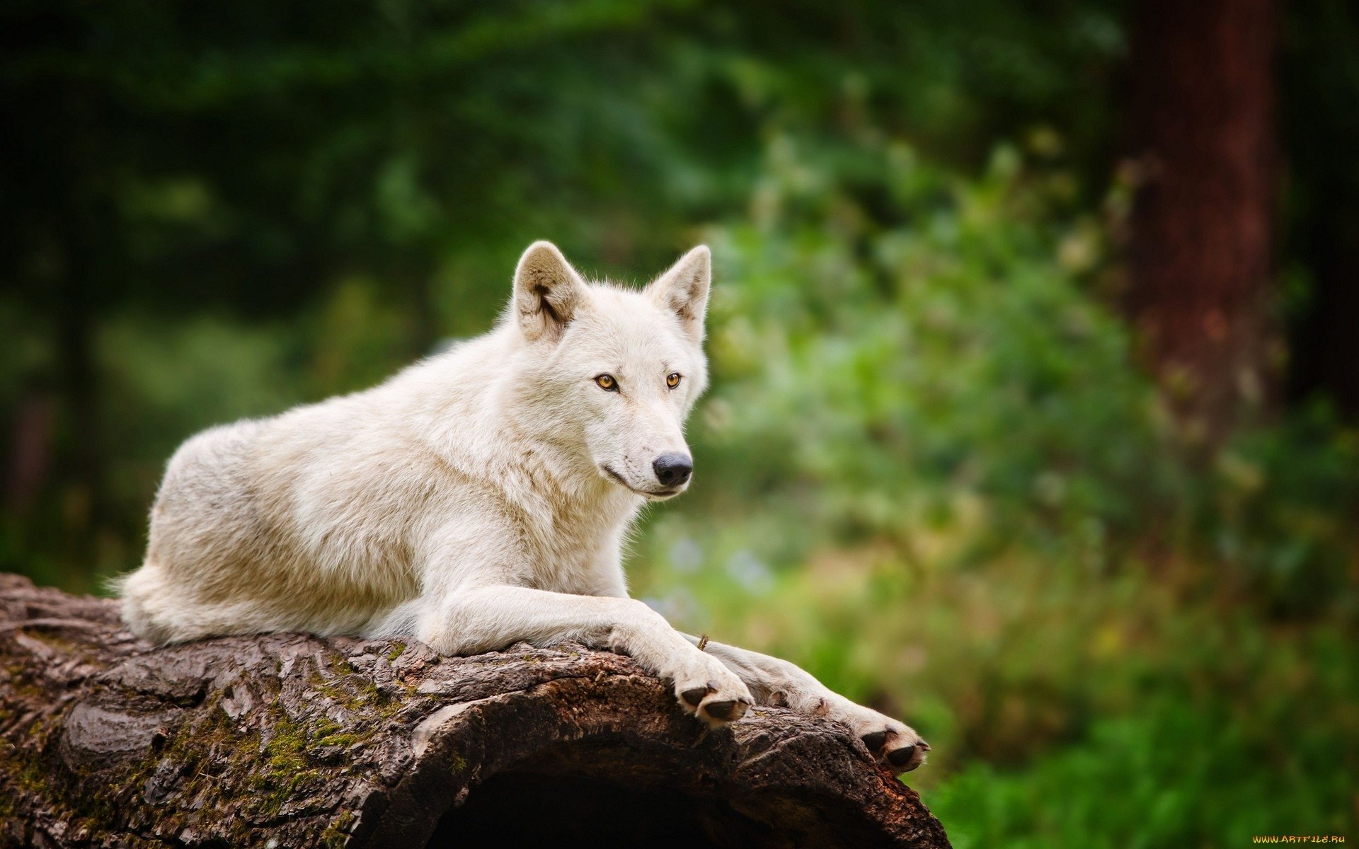 arctic wolf wallpaper  13 Arctic Wolf HD Wallpapers | Background Images - Wallpaper Abyss