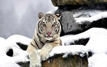 Tier - Weißer Tiger Wallpapers and Backgrounds ID : 372055