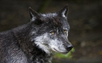 Animal - Wolf Wallpapers and Backgrounds ID : 372075