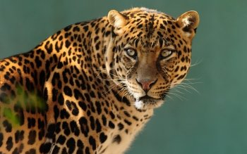 Animal - Leopard Wallpapers and Backgrounds ID : 372208
