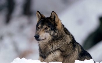 Animal - Wolf Wallpapers and Backgrounds ID : 372752