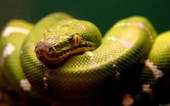 Animalia - Snake Wallpapers and Backgrounds ID : 372767