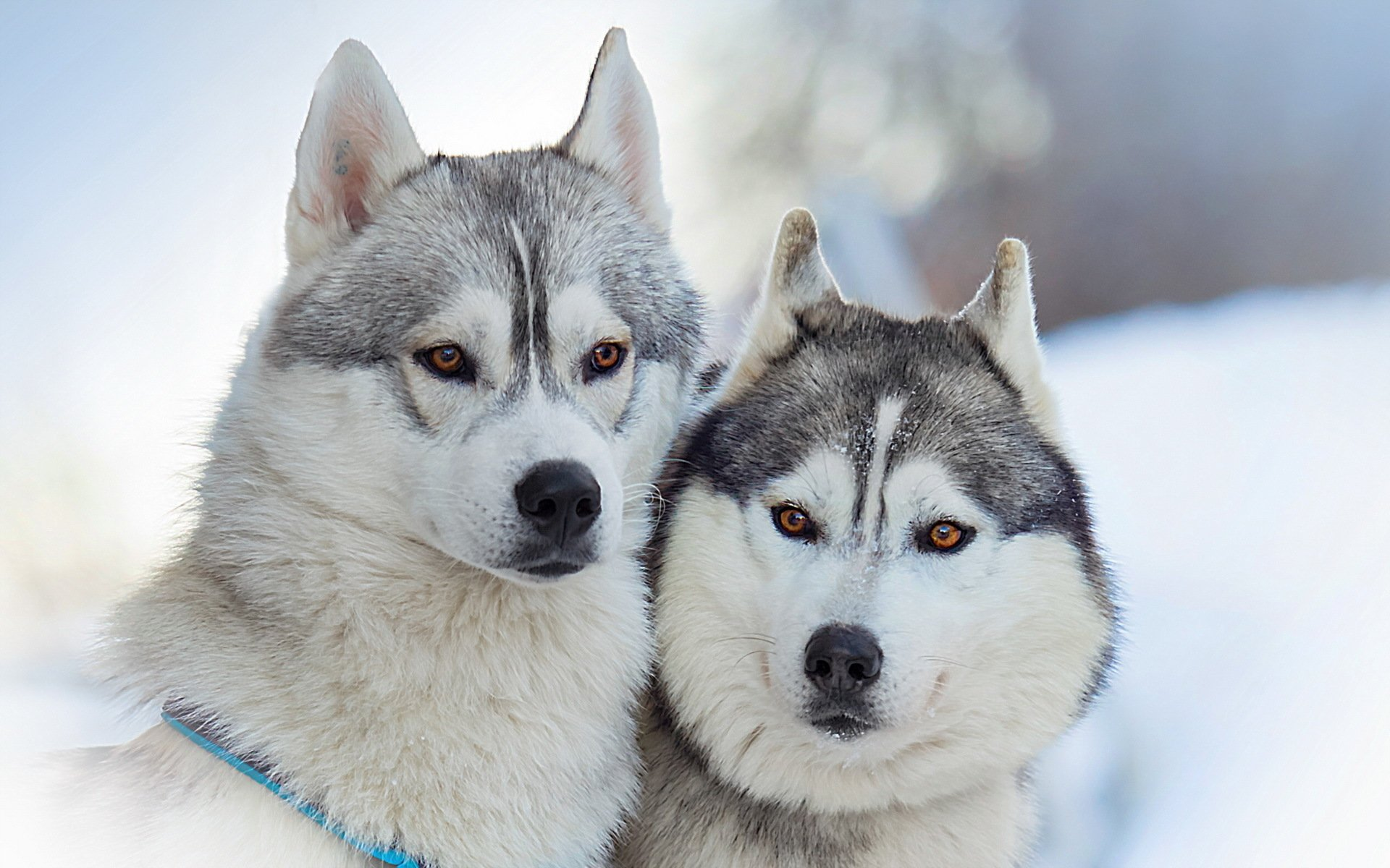 236 Husky Hd Wallpapers Background Images Wallpaper Abyss Page 2