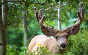 Animal - Deer Wallpapers and Backgrounds ID : 373052