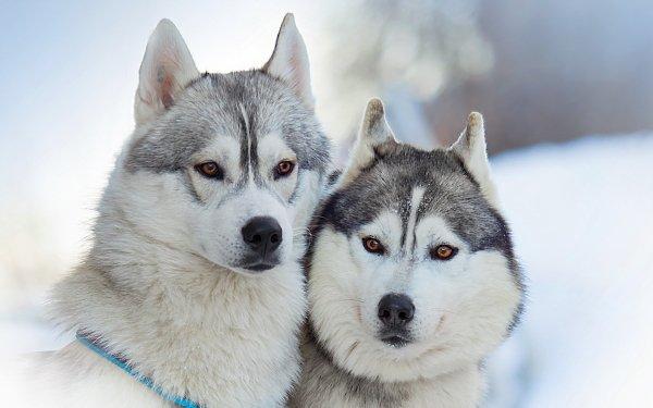 Animal Husky Dogs Alaskan Malamute Dog HD Wallpaper | Background Image