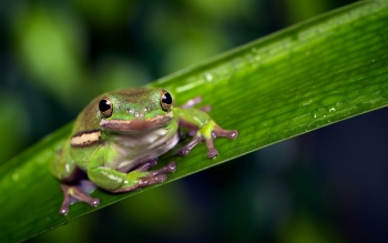 Animal - Tree Frog Wallpapers and Backgrounds ID : 374231