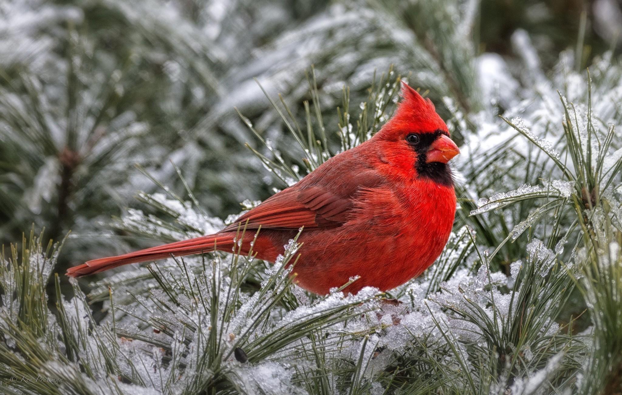 cardinal winter computer wallpaper - photo #20