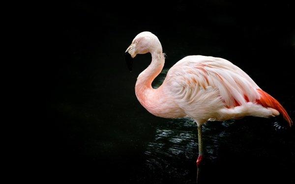 Animal Flamingo Birds Flamingos HD Wallpaper   Background Image