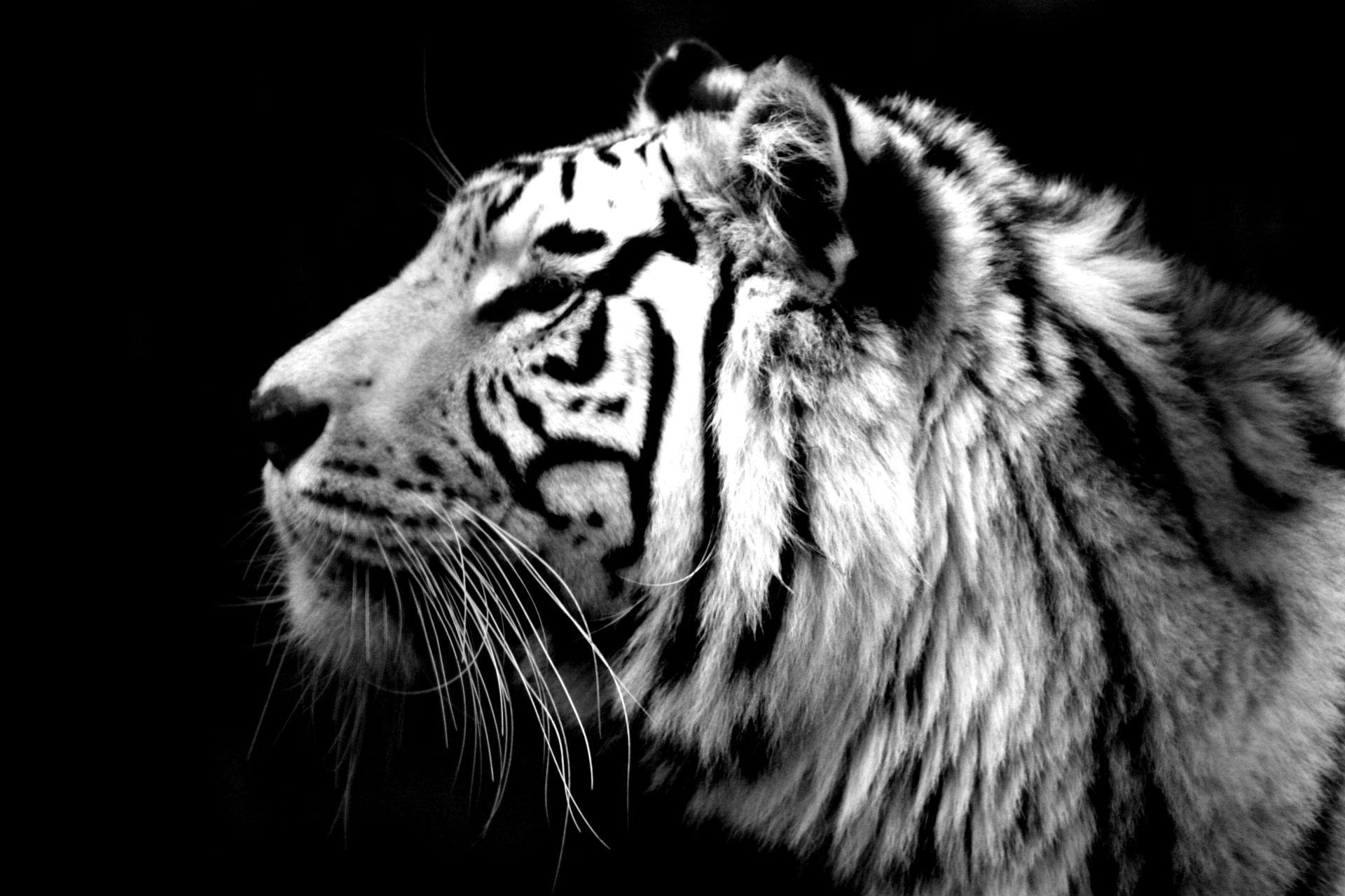 Tigre Blanc Full HD Fond d'écran and Arrière-Plan | 3504x2336 | ID:378674