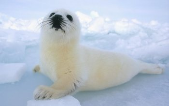 Animal - Harp Seal Wallpapers and Backgrounds ID : 378133