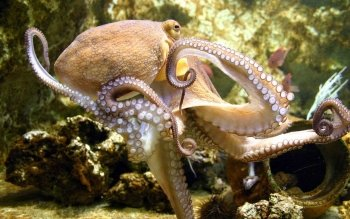 Animal - Octopus Wallpapers and Backgrounds ID : 378758