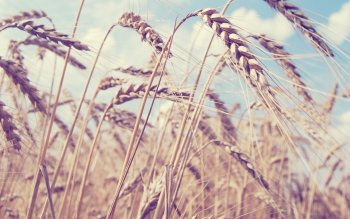 Earth - Wheat Wallpapers and Backgrounds ID : 379358