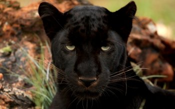 Animal - Black Panther Wallpapers and Backgrounds ID : 380150