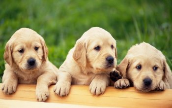 Animal - Puppy Wallpapers and Backgrounds ID : 380979