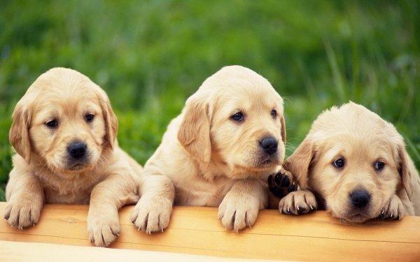 Animal Golden Retriever Dogs Dog Puppy HD Wallpaper | Background Image