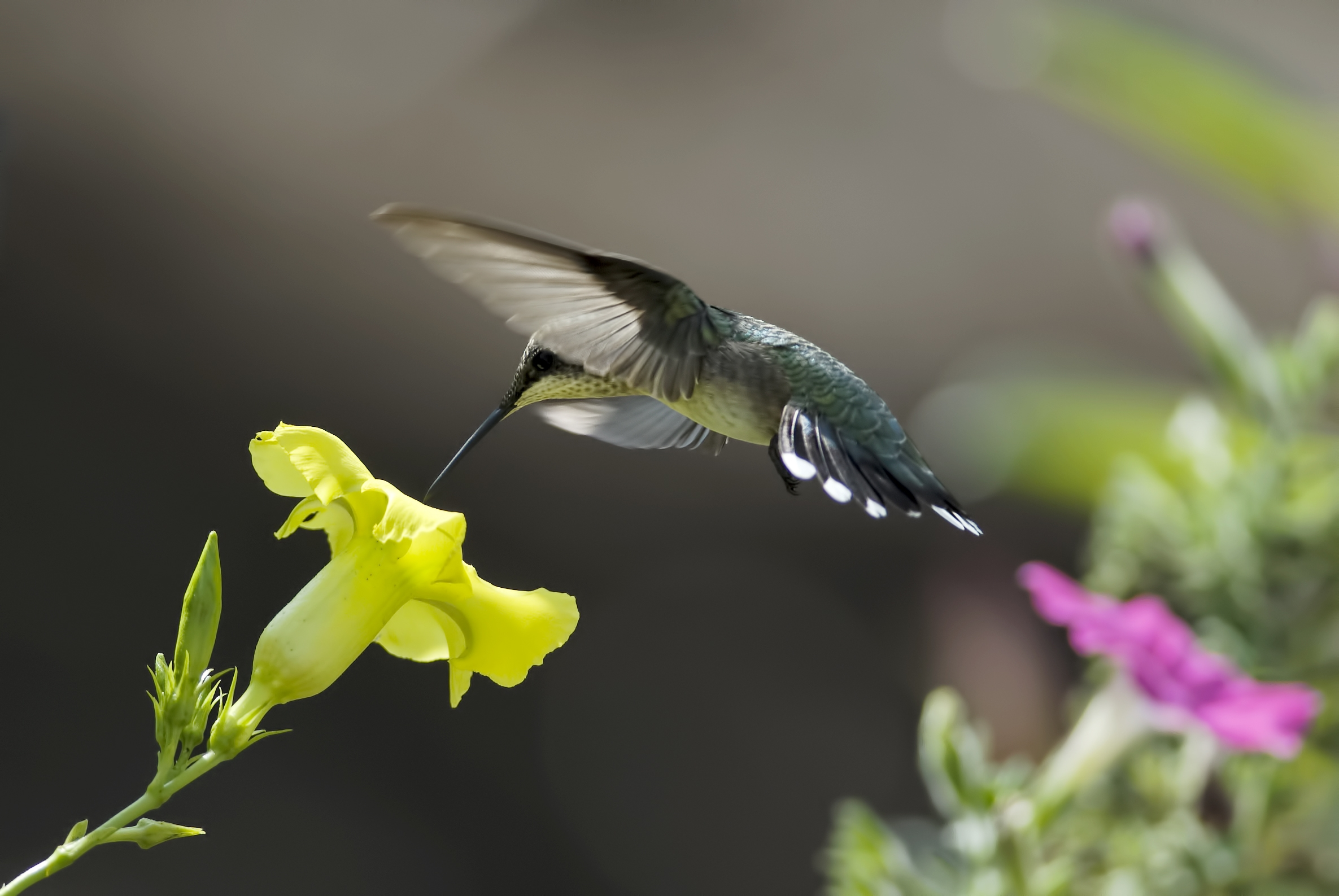 Hummingbird Full HD Wallpaper And Background Image