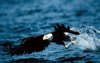 Animal - Bald Eagle Wallpapers and Backgrounds ID : 381009