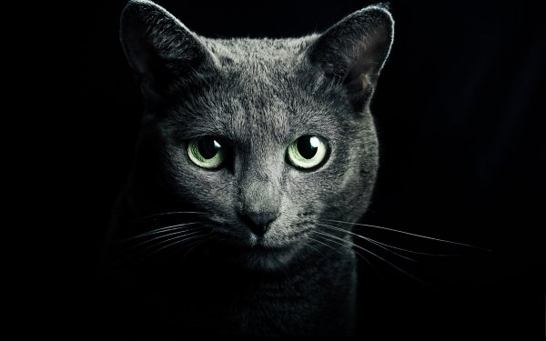 Animal Cat Cats Head Pet HD Wallpaper   Background Image