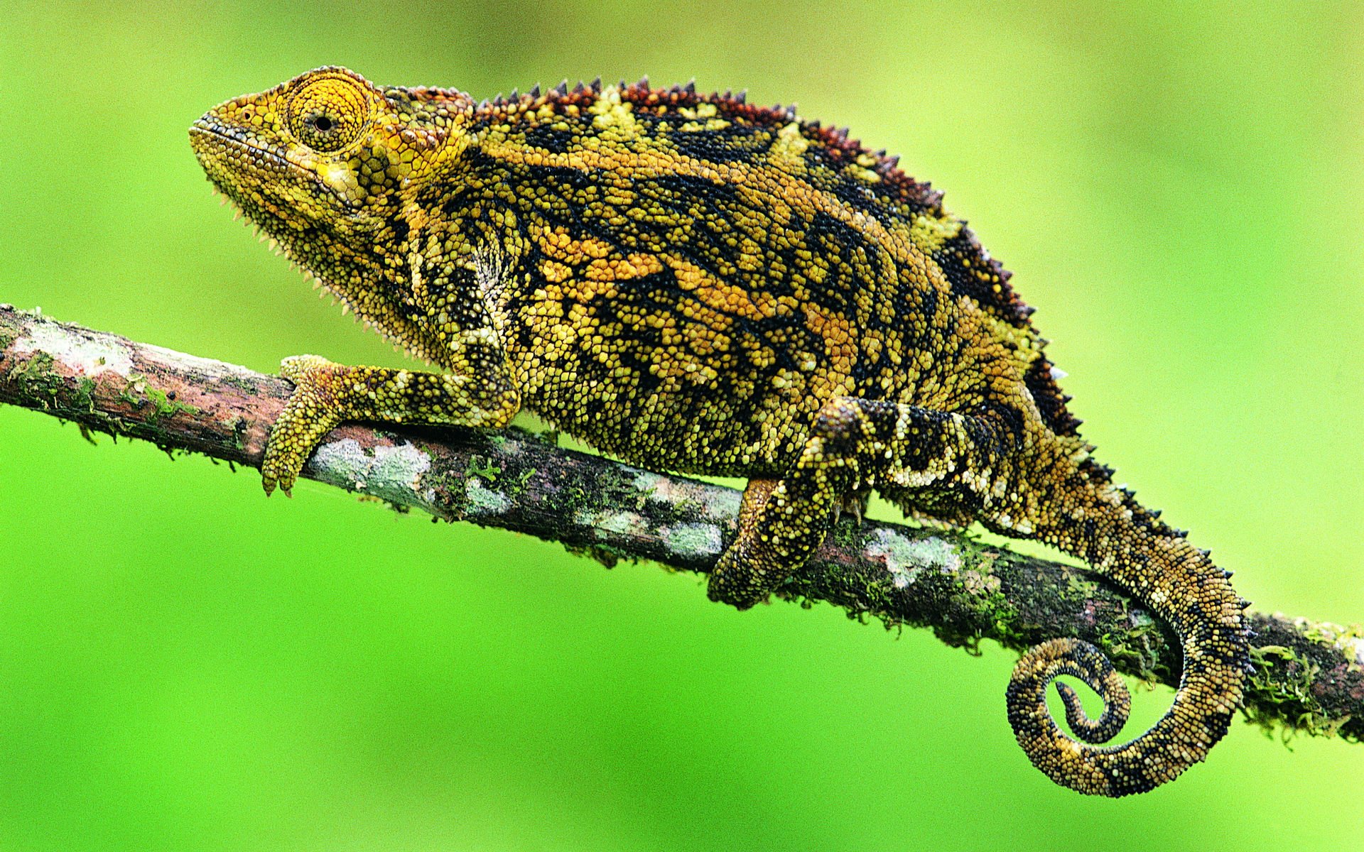 chameleon wallpaper 1920x1200 - photo #26
