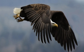 Animal - Bald Eagle Wallpapers and Backgrounds ID : 383364