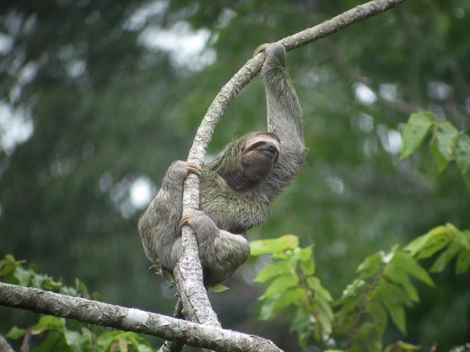 Three Toed Sloth Wallpaper And Background Image
