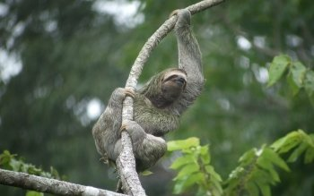Животные - Three-toed Sloth Wallpapers and Backgrounds ID : 384615