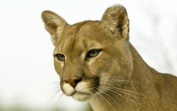 Animal - Cougar Wallpapers and Backgrounds ID : 384683