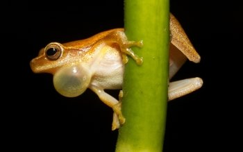 Animal - Tree Frog Wallpapers and Backgrounds ID : 384733