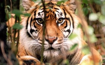 Animal - Tiger Wallpapers and Backgrounds ID : 384835