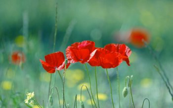 Earth - Poppy Wallpapers and Backgrounds ID : 384970