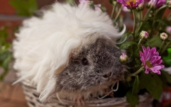 Animal - Guinea Pig Wallpapers and Backgrounds ID : 384987