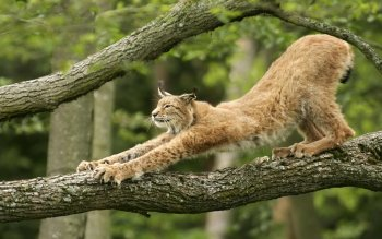 Animal - Lynx Wallpapers and Backgrounds ID : 385275