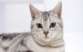 Animalia - Gato Wallpapers and Backgrounds ID : 386122