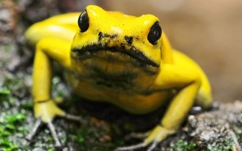 Animal - Golden Poison Frog Wallpapers and Backgrounds ID : 386468