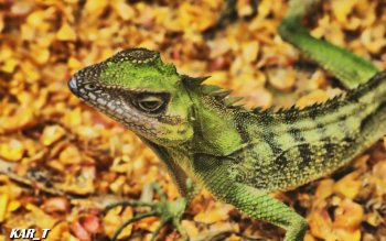 Animal - Lizard Wallpapers and Backgrounds ID : 386533