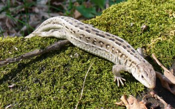 Animal - Sand Lizard Wallpapers and Backgrounds ID : 386915