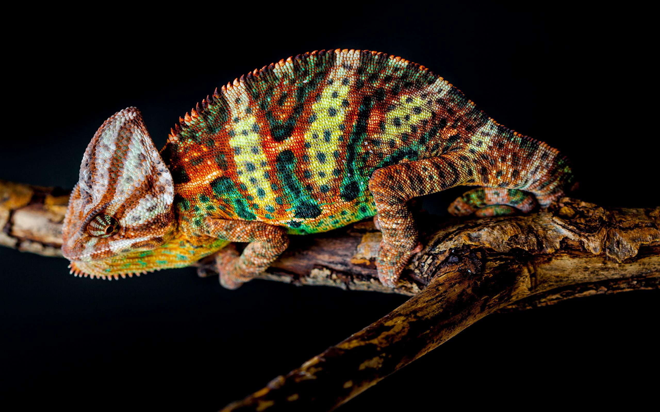 chameleon wallpaper iphone