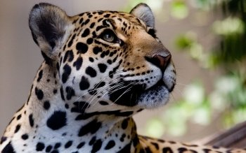 Animalia - Leopard Wallpapers and Backgrounds ID : 388125