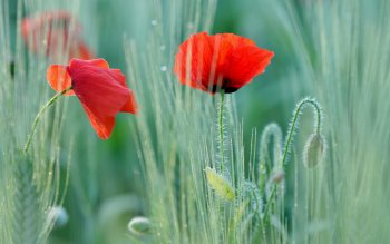 Earth - Poppy Wallpapers and Backgrounds ID : 389278