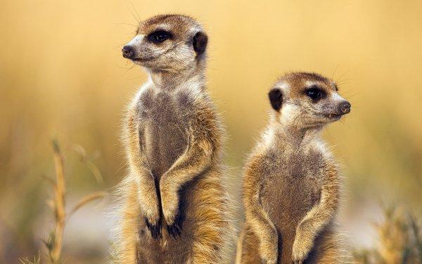 Animal Meerkat HD Wallpaper | Background Image