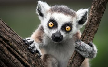 Djur - Lemur Wallpapers and Backgrounds ID : 390945